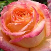 Róża. Potrafi Ocza