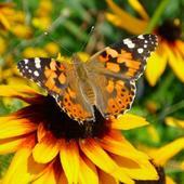 Rudbekia Z Motylkiem
