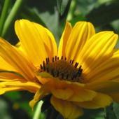 słoneczniczek szorstki