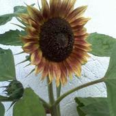 Słonecznik-tym Raze