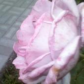cudowna róża