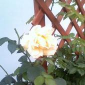 żółta róża, bardzo delikatna