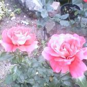 róże- ślicznie pachną