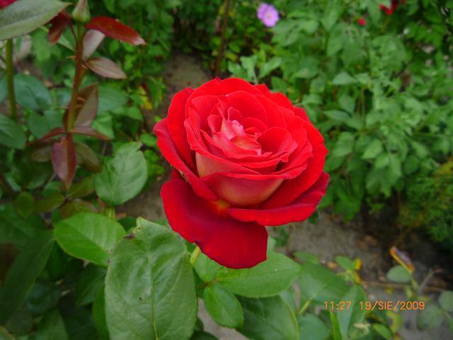 i jeszcze jedna róża(nie ostatnia)