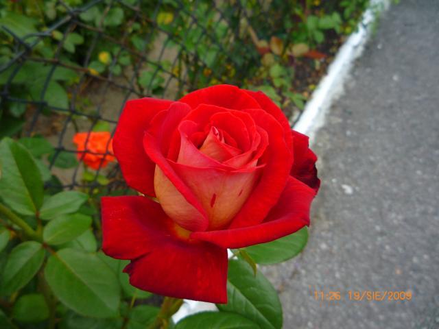 jeszcze róże do rozdania