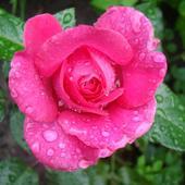 Szczęśliwa Różyc