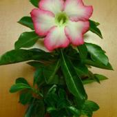 Adenium rozkwitło (Róża pustyni)