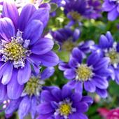 Astry - Kwiaty Jesie