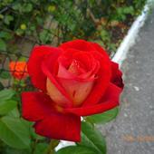 Jeszcze Róże Do Ro
