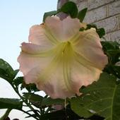 Kwiat DATURY