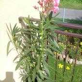Oleander Mój Nowy O