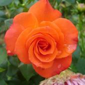 Płonąca Róża