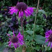 pysznogłówka violet
