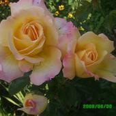 Róża, Królowa Moj