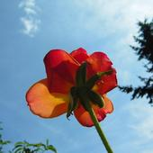 Róża Od Spodu :)