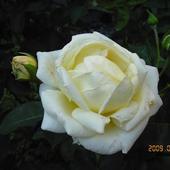 Róże Wciąż Pięk