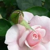 Różowe Płatki