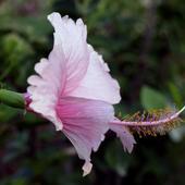 Różowy hibiskus