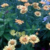 rumian żółty  /anthemis tinctoria/