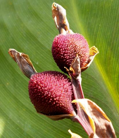 PACIORECZNIK -nasiona