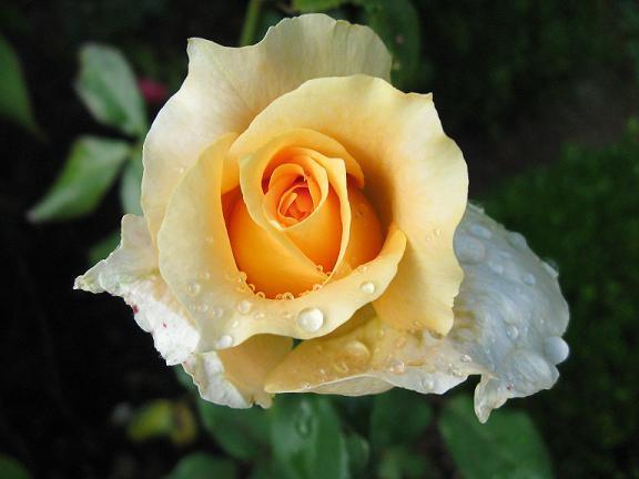 Róża 'Casanova'