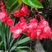 begonia drobna