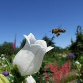 Dzwonek biały i pszczółka.