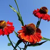 Helenium Autumnale L