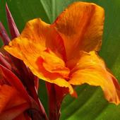 PACIORECZNIK -kwiat