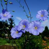 Len   -  Kwiaty.