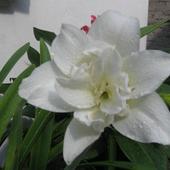 lilia w deszczu