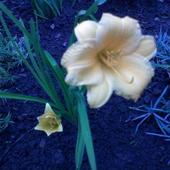 liliowiec stella d'oro