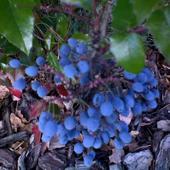 mahonia - owoce