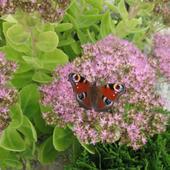 motyle uwielbiają ten rozchodnik