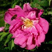 Róża pomarszczona