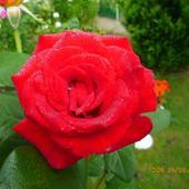 Róże Z Kolekcji