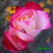 Różyczka I Mały K