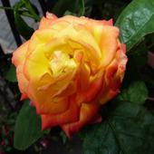 słońce i róża