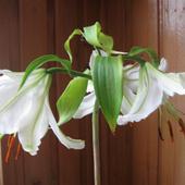 ta lilia zakwitła w wazonie