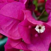 ten mały biały,to kwiat bugerwilii,ale jak w cdownej szacie
