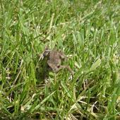 żabka na trawce