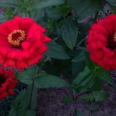 cynie - kwiatki dla Renatki261074