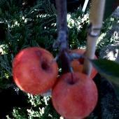 jabłoń ozdobna