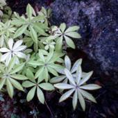jesienna ozdoba skalniaczka