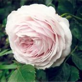 Najpiekniejsze róże