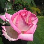 Najpiekniejsze Róż