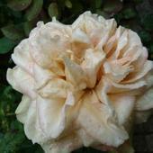 Najpiękniejsze róże
