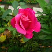 Róża Z (do) Kolekc