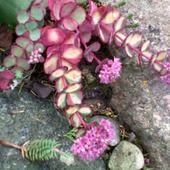 rozchodnik siebolda - sedum sieboldi