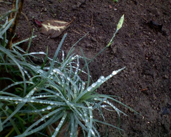 gożdzik majowy